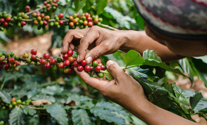 Coffee workers picking coffee cherries