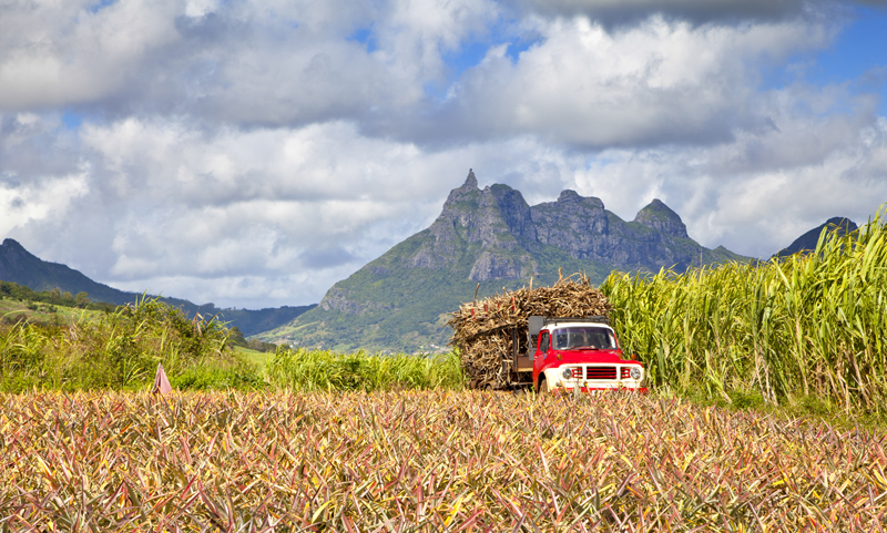 Truck driving through a field of sugar cane